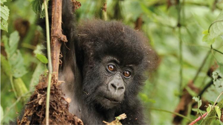Gorilla Baby, Virunga Nationalpark